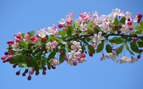 Picture the sky, flowers, nature, cherry, tree, branch, garden