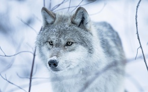 Picture winter, eyes, look, snow, wolf