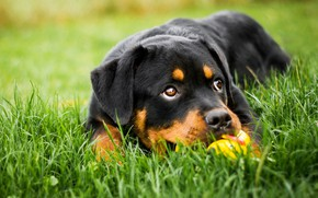 Wallpaper greens, grass, eyes, look, face, nature, background, each, glade, black, toy, the game, portrait, dog, ...