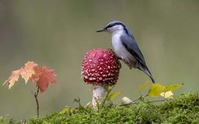 Wallpaper bird, mushroom, mushroom, moss, nuthatch