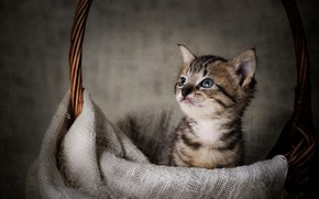 Picture basket, baby, muzzle, kitty