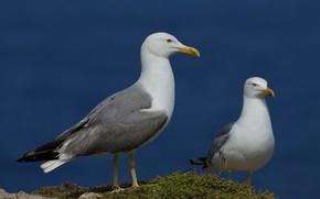 Picture Nature, Bird, Seagull, Beak
