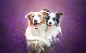 Wallpaper lavender, friends, The border collie, dogs, friendship, flowers