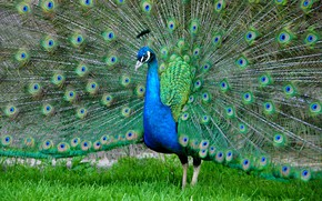 Picture bird, feathers, tail, peacock, color