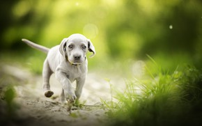 Picture grass, baby, puppy, walk, bokeh, doggie, The Weimaraner, Weimar pointer
