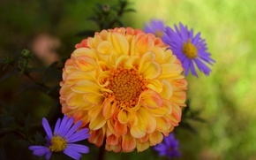 Picture chrysanthemum, Dahlia, Georgina, Bokeh, Bokeh, Chrysanthemum, Yellow flower, Yellow flower