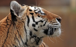 Picture face, profile, the Amur tiger