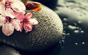 Picture water, drops, flowers, stones, branch, Sakura