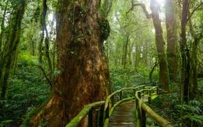 Picture greens, forest, trees, tropics, moss, jungle, Jungle, bridges, damp