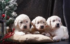 Picture puppies, New year, tree, white, trio, Retriever, decor