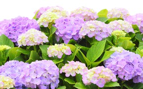 Picture Flowers, flowering, the bushes, hydrangea