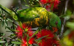 Picture flowers, bird, parrot, Callistemon, Casuistry lorikeet