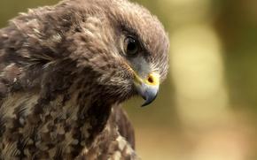 Wallpaper eagle, bird, beak
