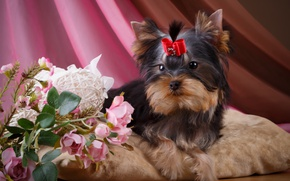 Picture flowers, roses, girl, puppy, bow, Yorkshire Terrier