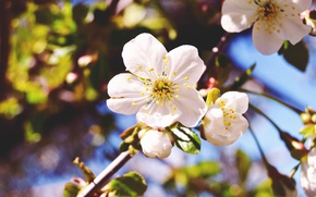 Picture flower, macro, nature, cherry, spring, branch, flowering
