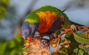 Picture leaves, bird, branch, parrot, flowers, Multicolor lorikeet, Corymbia fiquality