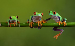 Picture macro, nature, frog, stem, frogs, three, trio, model, green, beauty, green background, fauna, dendrobates