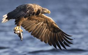 Picture Eagle, lake, fish