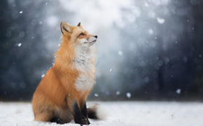 Picture winter, look, face, snow, Fox, Fox