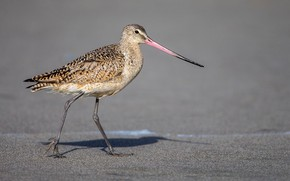 Picture bird, beak, spotted black-tailed Godwit