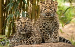 Picture a couple, leopards, kittens, cubs