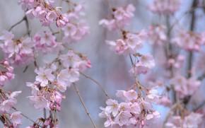 Picture branches, spring, Sakura
