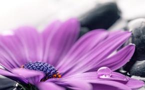 Picture water, stones, colorful, flowers, gerbera, purple, gerbera