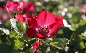 Picture flower, Rose, flowering