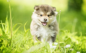 Picture grass, dog, puppy, walk, Finnish lapphund
