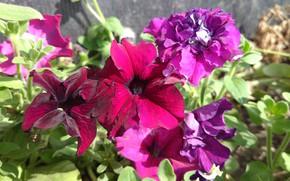 Picture summer, flowers, petunias, mamala ©