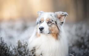 Picture face, dog, bokeh, Australian shepherd, Aussie