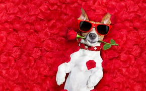 Picture flower, background, rose, photoshop, wet, humor, glasses, lies, red, rose petals, Jack Russell Terrier