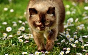 Wallpaper cat, eyes, British Shorthair, summer, plump, chamomile, Daisy, light, portrait, Sunny, cat, lawn, greens, heat, ...