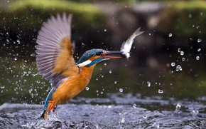 Picture drops, fish, Kingfisher