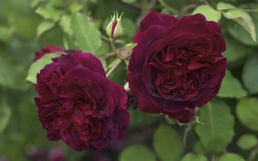 Picture rose, petals, Bud, flowering, scarlet