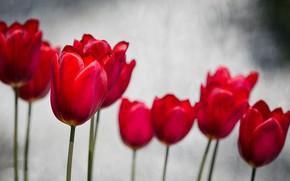 Picture spring, petals, garden, tulips