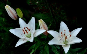 Picture macro, nature, Lily, petals