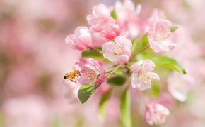 Picture macro, cherry, bee, flowering, flowers, bokeh
