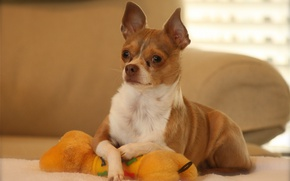 Picture toy, dog, posing, Chihuahua