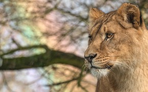 Picture cat, animals, look, face, branches, nature, background, portrait, Leo, wild cats, lioness