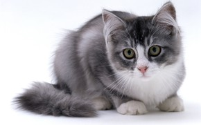 Picture kitty, fluffy, cute
