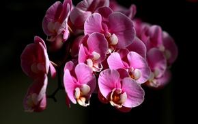 Picture color, petals, flowering, Orchid