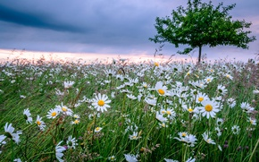 Picture flowers, tree, chamomile, Germany, Bayern, meadow, Germany, Bavaria, Ebersberg, Ebersberg