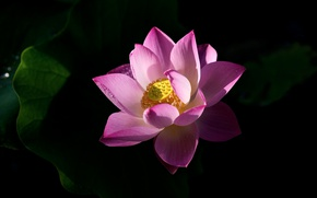 Picture flower, leaves, light, flowers, bright, pink, shadow, petals, Lotus, black background, Lotus
