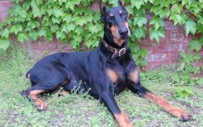 Picture elegant, Doberman, wild grapes, Pinscher