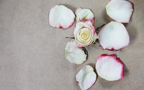 Picture petals, rose, white, flower, petals, rose white