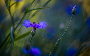 Picture macro, blue, cornflowers