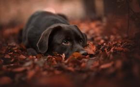 Picture autumn, face, leaves, foliage, dog, bokeh