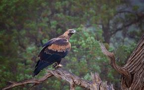 Picture tree, bird, predator, Australia, eagle Chinese