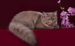 Picture cat, flowers, tail, breed, British